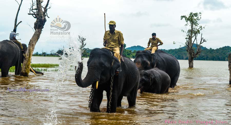 Sakrebailu Elephant Camp, Shimoga - AroundMangalore.com - Around Mangalore